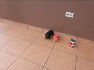 miny pig Puerto Rico