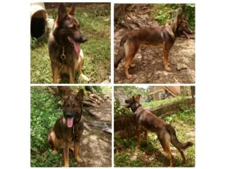 Cheka 11 meses Germán shepherd Puerto Rico