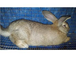Conejo Gigante de Flandes $30 Puerto Rico