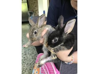 Conejos Australianos Toy Puerto Rico