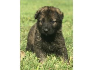 Puerto Rico German Shepherd AKC , Perros Gatos y Caballos