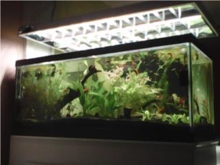 peces platy moly espada guppys y plantas Puerto Rico