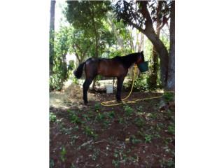 vendo caballo $450  Puerto Rico