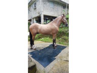 caballo bayo manso capado Puerto Rico