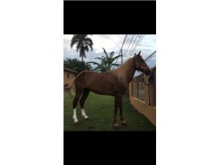 caballo 7 cuartas  Puerto Rico