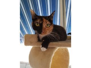 Hermosa gatita calico urge adopción Puerto Rico