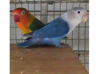 Venta pareja de lovebird  Puerto Rico