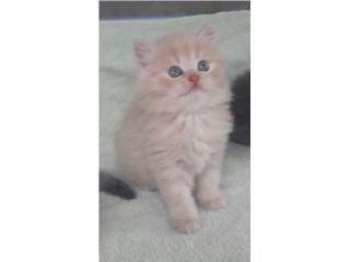 Hermosos gatitos persas Puerto Rico