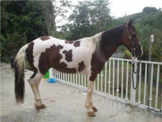se vende caballo pinto manso Puerto Rico