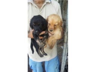 Se regalan lindos perritos mezclados con labrador! Puerto Rico