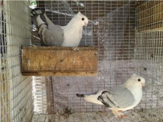 palomas satinette azul Puerto Rico