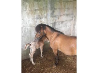 Pony apalusso Puerto Rico