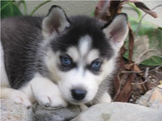 Clasificados Online Mascotas SIBERIAN HUSKY- puros con papeles