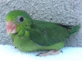 parrolets verdes $80.00 especial Puerto Rico