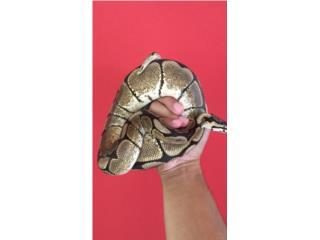 Ball Python Spider Hembra Puerto Rico