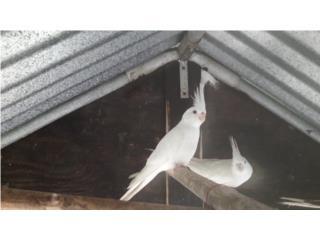 Cockatiel albina Puerto Rico