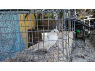 lovebird hembra blanca ojos negro Puerto Rico