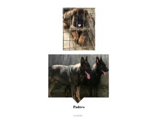 Puerto Rico Preciosa cachorra German shepherd AKC , Perros Gatos y Caballos