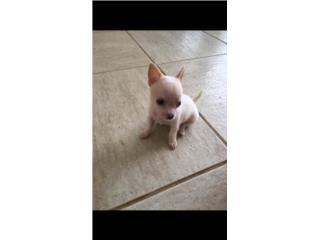 Puerto Rico Chihuahua toy- no mini toy caguas, Perros Gatos y Caballos