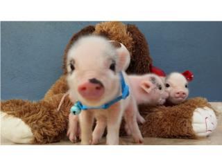 Puerto Rico MINI PIGS , Perros Gatos y Caballos