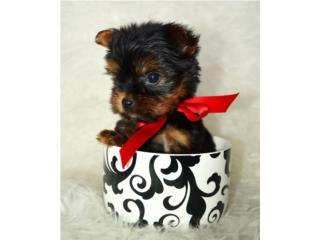 Puerto Rico Tea Cup Yorkie Machos , Perros Gatos y Caballos