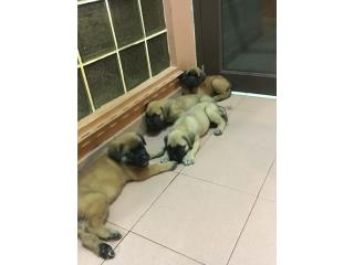 Puerto Rico Pure breed English Mastiff, Perros Gatos y Caballos