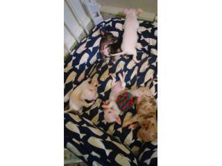 Puerto Rico Chihuahuas UKC, Perros Gatos y Caballos