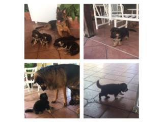 Puerto Rico Puppies Germán sheperd , Perros Gatos y Caballos