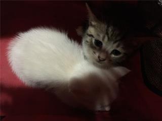 Gatitos adopción  Puerto Rico