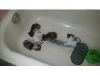 en adopción preciosos gatitos saludables pelu Puerto Rico