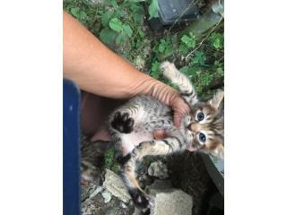Gatitos para adopción Puerto Rico