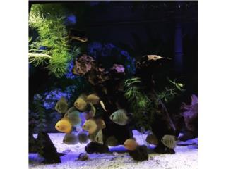 peces discus de todas razas  $30 Puerto Rico