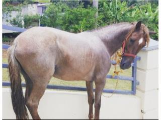 caballo moro Puerto Rico