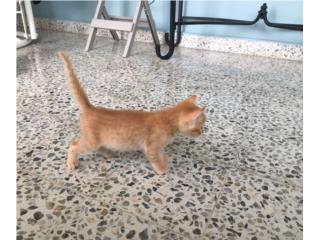 Orange tabby kitten de 1 mes Puerto Rico