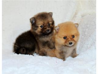 Puerto Rico Tiny Pomeranian  H & M, Perros Gatos y Caballos