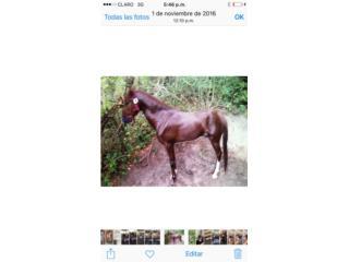 caballo alazano Puerto Rico
