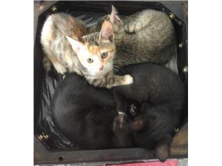 Se regalan hermoso gatitos Angora Puerto Rico