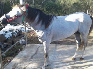 Se vende caballo coju 400 Puerto Rico