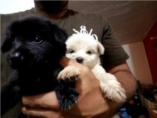 Se regalan perritas blanca y negra! Puerto Rico