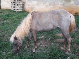 Pareja de ponies hembra preñada Puerto Rico