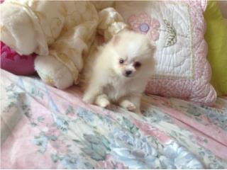 Cachorro de Pomerania blanca invaluable para  Puerto Rico