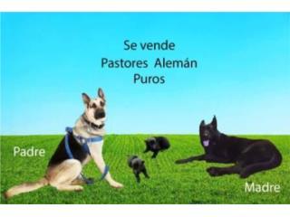 Puerto Rico Preciosos German Shepherd puro negros, Perros Gatos y Caballos