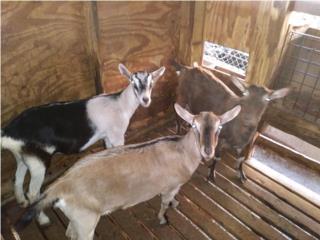 Puerto Rico VENTA DE CABRAS ALPINAS, Perros Gatos y Caballos