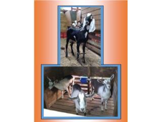 Puerto Rico CABRAS, Perros Gatos y Caballos
