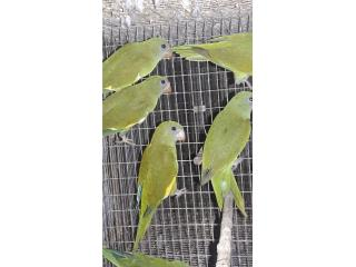 Pareja Cotorritas Canarywings  Puerto Rico