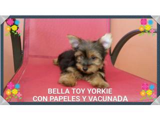 BELLA TOY YORKIE DOLLFACE CON PAPELES Puerto Rico