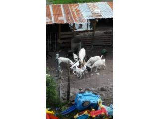 Se venden cabras y el padrote puro boar  Puerto Rico