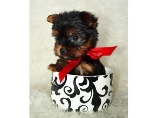 Puerto Rico Tea Cup Yorkie con papeles , Perros Gatos y Caballos