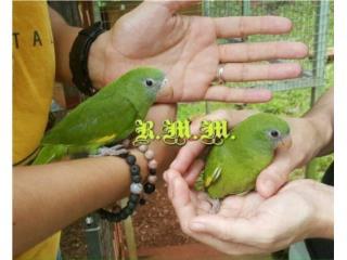 Cotorras Canary Wing $75c/u Puerto Rico