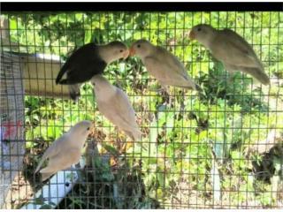 Love birds $45 C/U jovenes Puerto Rico